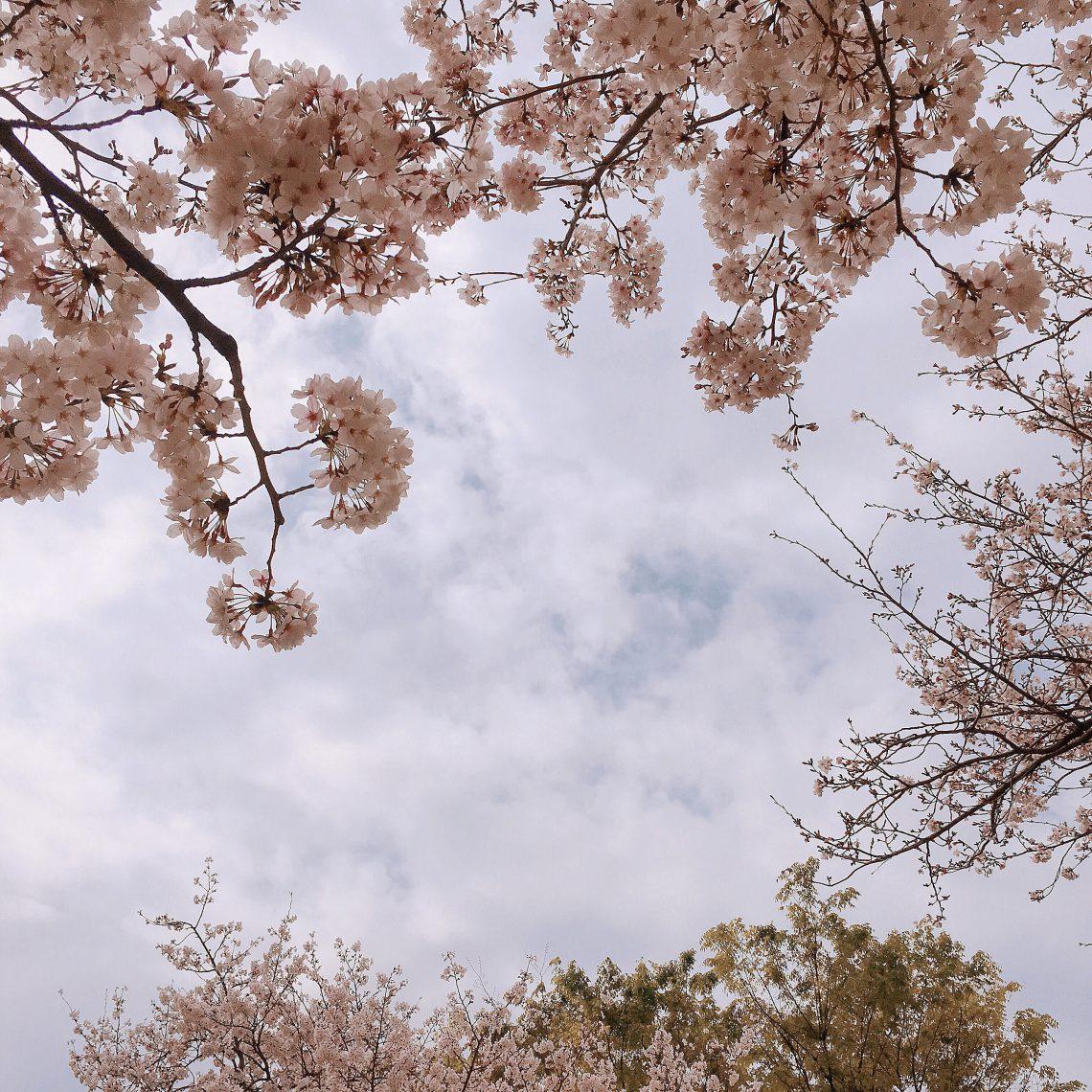 おとなりは桜が満開です
